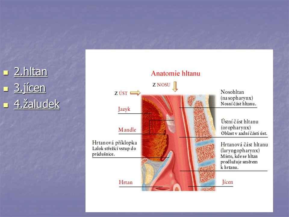 4.žaludek Promísení potravy se žaludečními šťávami Promísení potravy se žaludečními šťávami Vznik TRÁVENINY Vznik TRÁVENINY Žaludeční šťávy obsahují kyselinu chlorovodíkovou(HCl) a enzym PEPSIN Žaludeční šťávy obsahují kyselinu chlorovodíkovou(HCl) a enzym PEPSIN (štěpí bílkoviny) (štěpí bílkoviny)