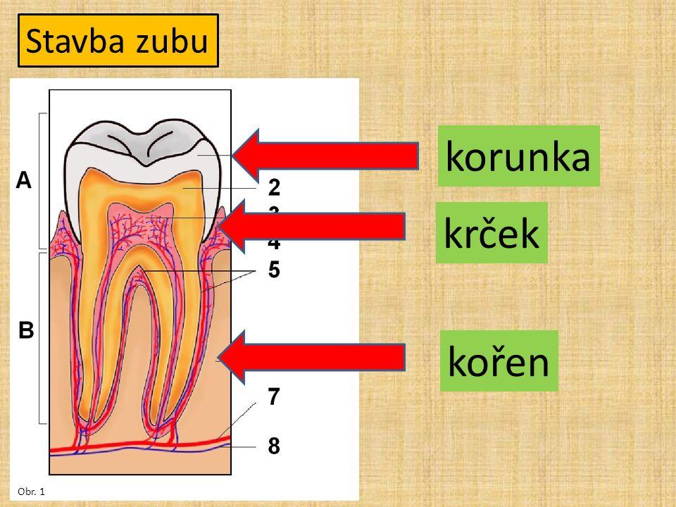 Stavba zubu korunka krček kořen Obr. 1