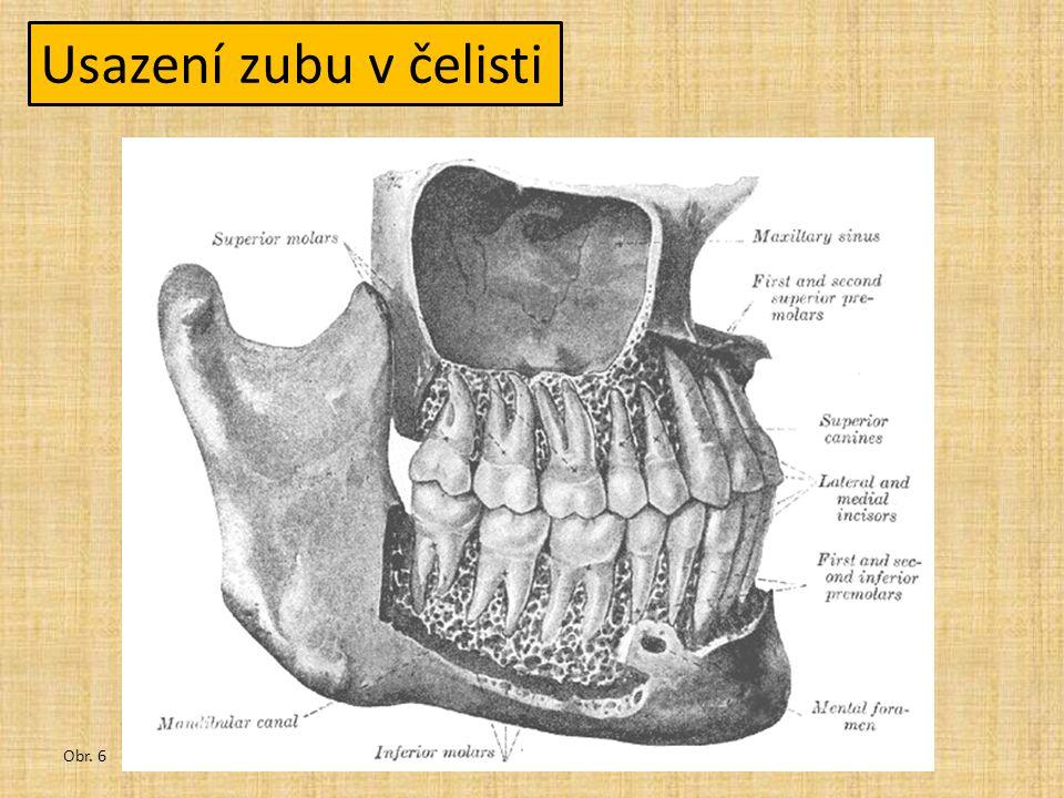 Druhy zubů Obr. 2 -řezáky -špičáky -třenové zuby -stoličky