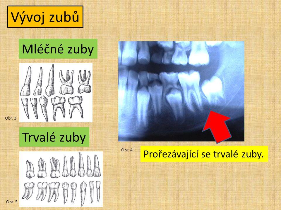 Vývoj zubů Mléčné zuby Trvalé zuby Obr. 3 Obr. 4 Obr. 5 Prořezávající se trvalé zuby.