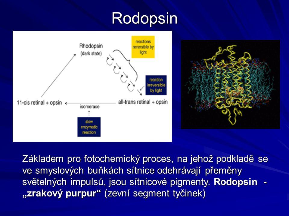 Rodopsin Základem pro fotochemický proces, na jehož podkladě se ve smyslových buňkách sítnice odehrávají přeměny světelných impulsů, jsou sítnicové pigmenty.