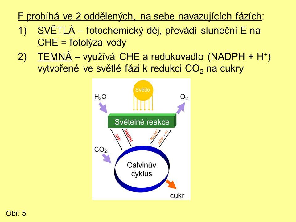 F probíhá ve 2 oddělených, na sebe navazujících fázích: 1)SVĚTLÁ – fotochemický děj, převádí sluneční E na CHE = fotolýza vody 2)TEMNÁ – využívá CHE a redukovadlo (NADPH + H + ) vytvořené ve světlé fázi k redukci CO 2 na cukry Obr.