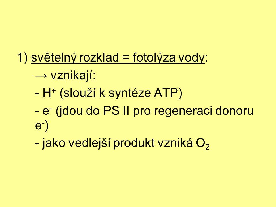 1) světelný rozklad = fotolýza vody: → vznikají: - H + (slouží k syntéze ATP) - e - (jdou do PS II pro regeneraci donoru e - ) - jako vedlejší produkt vzniká O 2
