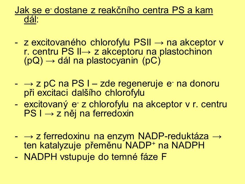 Jak se e - dostane z reakčního centra PS a kam dál: -z excitovaného chlorofylu PSII → na akceptor v r. centru PS II→ z akceptoru na plastochinon (pQ)
