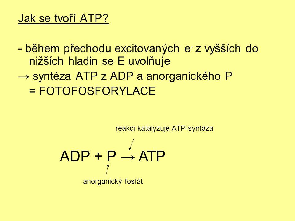 Jak se tvoří ATP? - během přechodu excitovaných e - z vyšších do nižších hladin se E uvolňuje → syntéza ATP z ADP a anorganického P = FOTOFOSFORYLACE