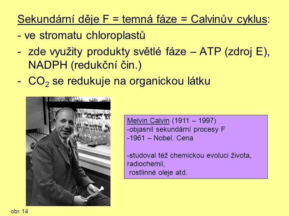 Sekundární děje F = temná fáze = Calvinův cyklus: - ve stromatu chloroplastů -zde využity produkty světlé fáze – ATP (zdroj E), NADPH (redukční čin.) -CO 2 se redukuje na organickou látku Melvin Calvin (1911 – 1997) -objasnil sekundární procesy F -1961 – Nobel.