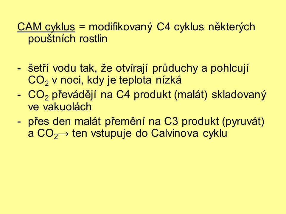 CAM cyklus = modifikovaný C4 cyklus některých pouštních rostlin -šetří vodu tak, že otvírají průduchy a pohlcují CO 2 v noci, kdy je teplota nízká -CO 2 převádějí na C4 produkt (malát) skladovaný ve vakuolách -přes den malát přemění na C3 produkt (pyruvát) a CO 2 → ten vstupuje do Calvinova cyklu