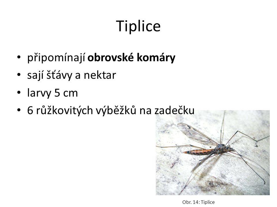 Tiplice připomínají obrovské komáry sají šťávy a nektar larvy 5 cm 6 růžkovitých výběžků na zadečku Obr.