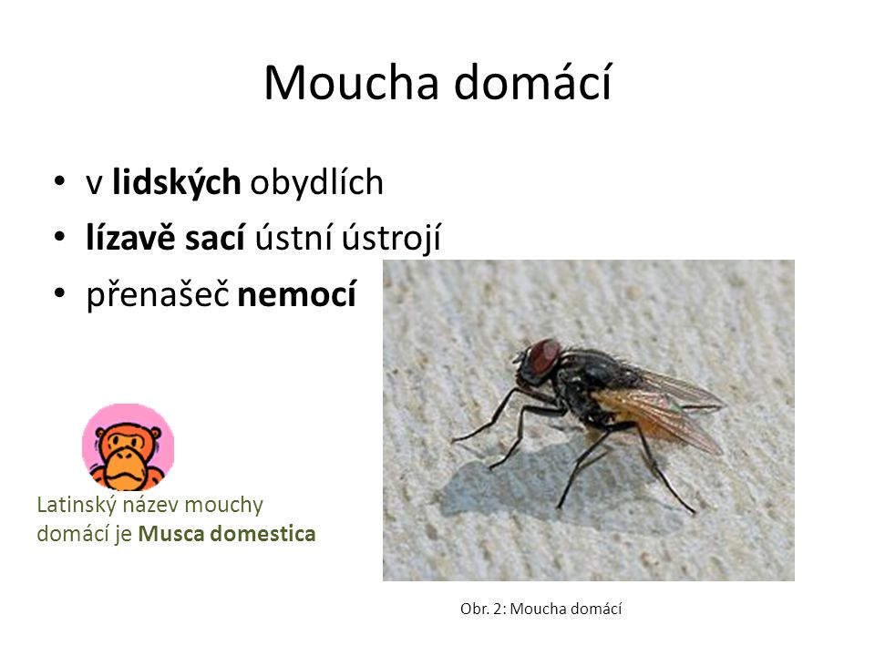 Moucha domácí v lidských obydlích lízavě sací ústní ústrojí přenašeč nemocí Obr. 2: Moucha domácí Latinský název mouchy domácí je Musca domestica