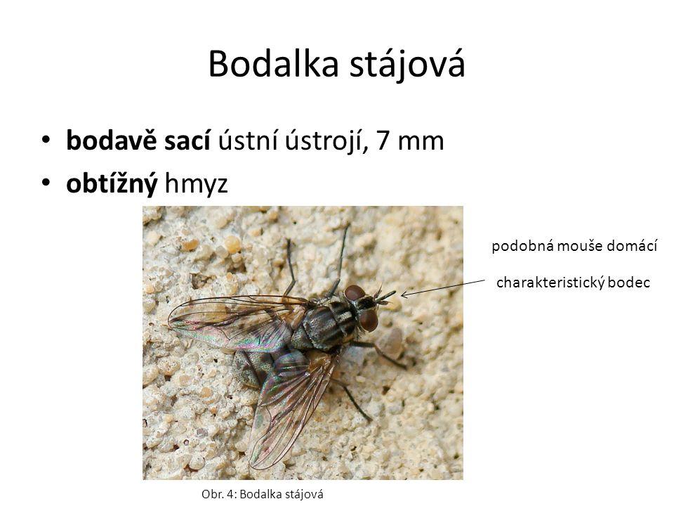 Bodalka stájová bodavě sací ústní ústrojí, 7 mm obtížný hmyz Obr. 4: Bodalka stájová charakteristický bodec podobná mouše domácí