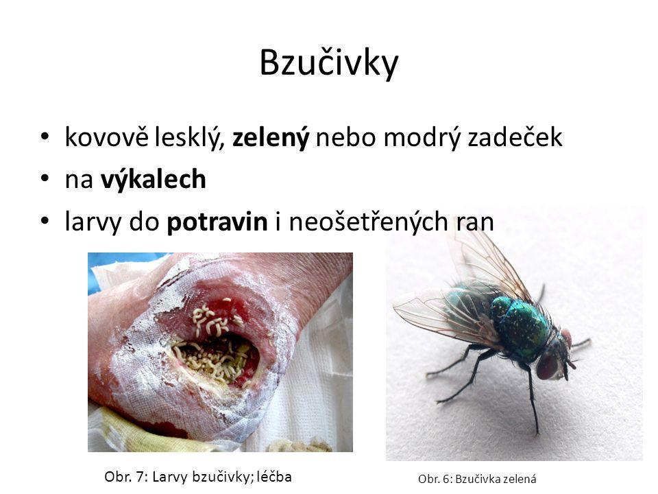 Bzučivky kovově lesklý, zelený nebo modrý zadeček na výkalech larvy do potravin i neošetřených ran Obr. 6: Bzučivka zelená Obr. 7: Larvy bzučivky; léč