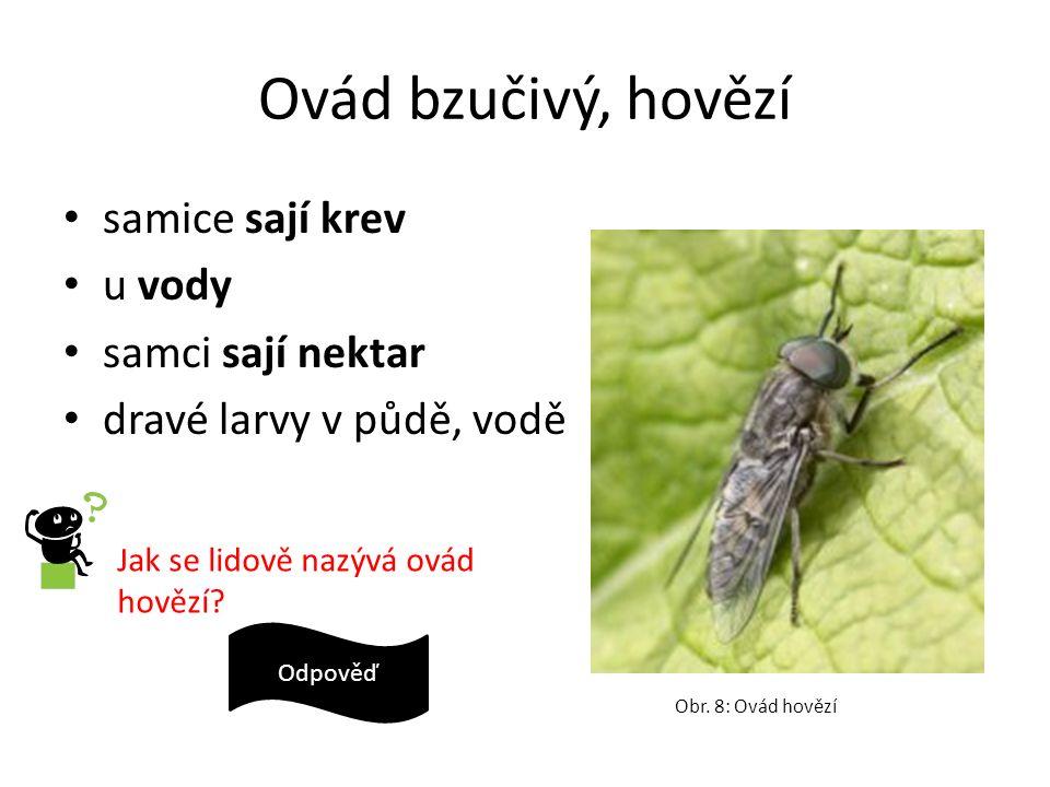 Ovád bzučivý, hovězí samice sají krev u vody samci sají nektar dravé larvy v půdě, vodě Obr. 8: Ovád hovězí Jak se lidově nazývá ovád hovězí? hovado O