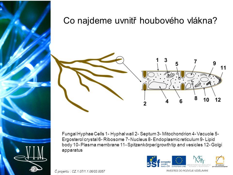 Č.projektu : CZ.1.07/1.1.06/03.0057 Co najdeme uvnitř houbového vlákna? Fungal Hyphae Cells 1- Hyphal wall 2- Septum 3- Mitochondrion 4- Vacuole 5- Er