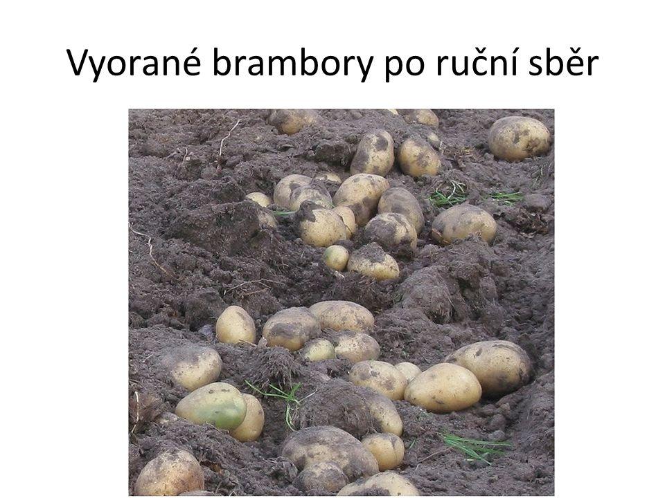 Vyorané brambory po ruční sběr
