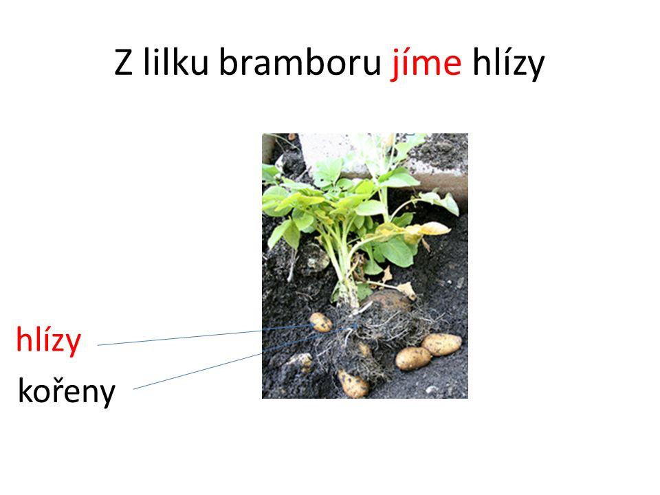 Z lilku bramboru jíme hlízy hlízy kořeny