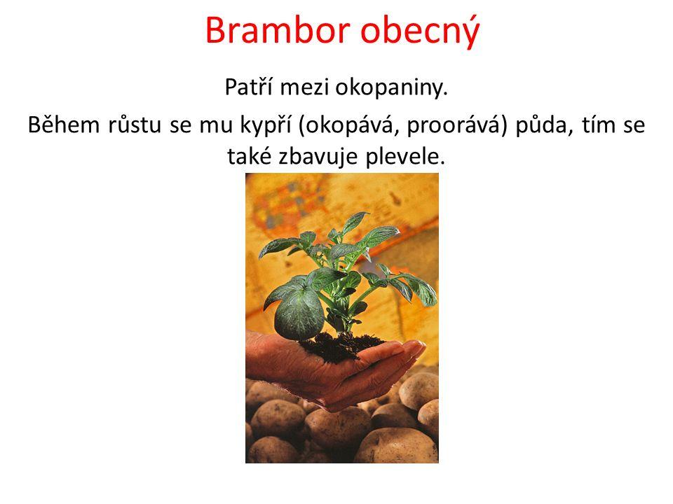 Brambor obecný Patří mezi okopaniny.