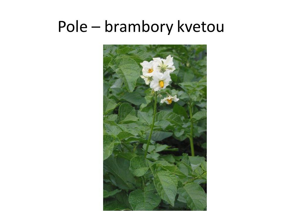 Pole – brambory kvetou