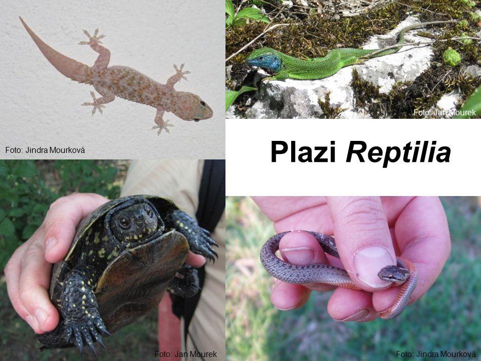 Plazi Reptilia Foto: Jindra Mourková Foto: Jan Mourek