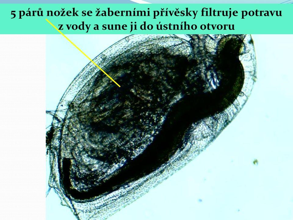 5 párů nožek se žaberními přívěsky filtruje potravu z vody a sune ji do ústního otvoru