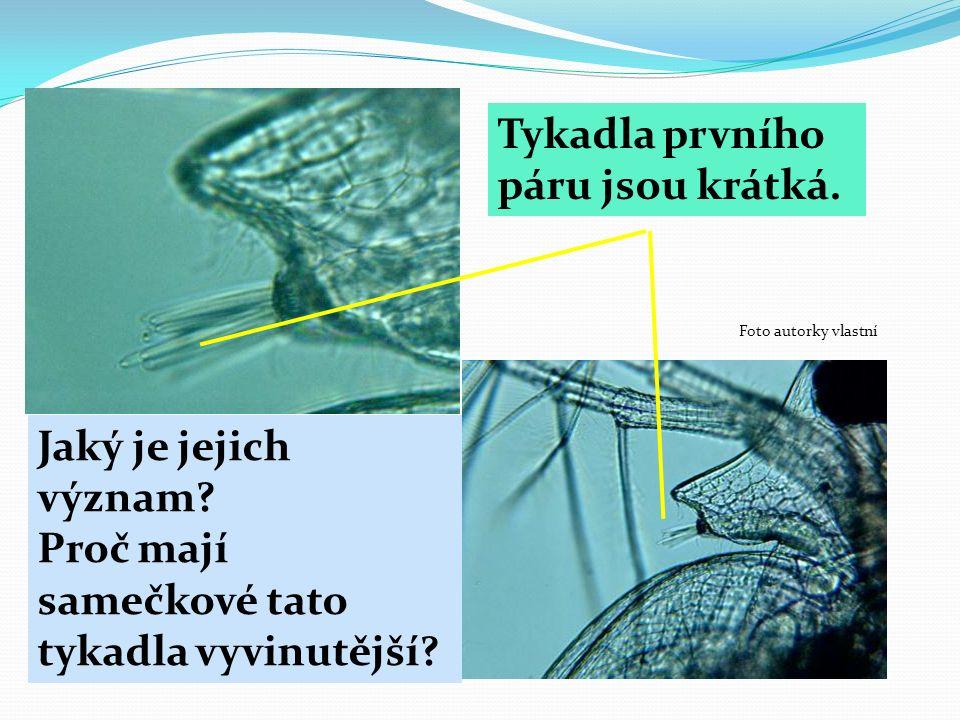 Tykadla prvního páru jsou krátká. Jaký je jejich význam? Proč mají samečkové tato tykadla vyvinutější? Foto autorky vlastní