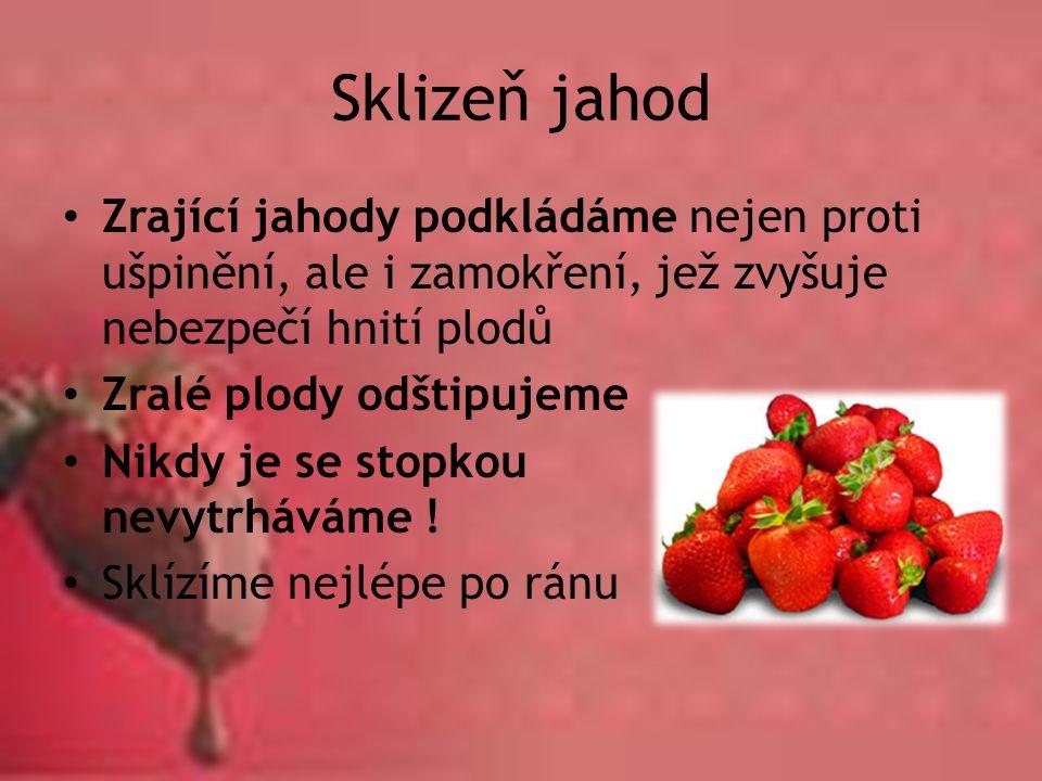 Sklizeň jahod Zrající jahody podkládáme nejen proti ušpinění, ale i zamokření, jež zvyšuje nebezpečí hnití plodů Zralé plody odštipujeme Nikdy je se s
