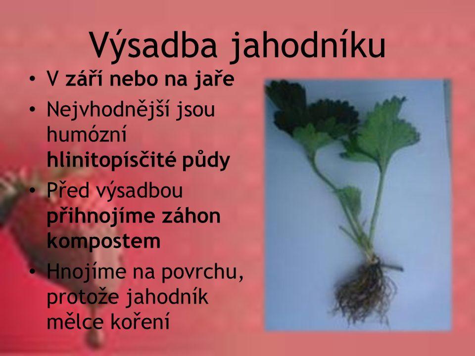Výsadba jahodníku V září nebo na jaře Nejvhodnější jsou humózní hlinitopísčité půdy Před výsadbou přihnojíme záhon kompostem Hnojíme na povrchu, proto