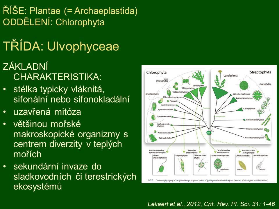 ZÁKLADNÍ CHARAKTERISTIKA: stélka typicky vláknitá, sifonální nebo sifonokladální uzavřená mitóza většinou mořské makroskopické organizmy s centrem diverzity v teplých mořích sekundární invaze do sladkovodních či terestrických ekosystémů ŘÍŠE: Plantae (= Archaeplastida) ODDĚLENÍ: Chlorophyta TŘÍDA: Ulvophyceae Leliaert et al., 2012, Crit.