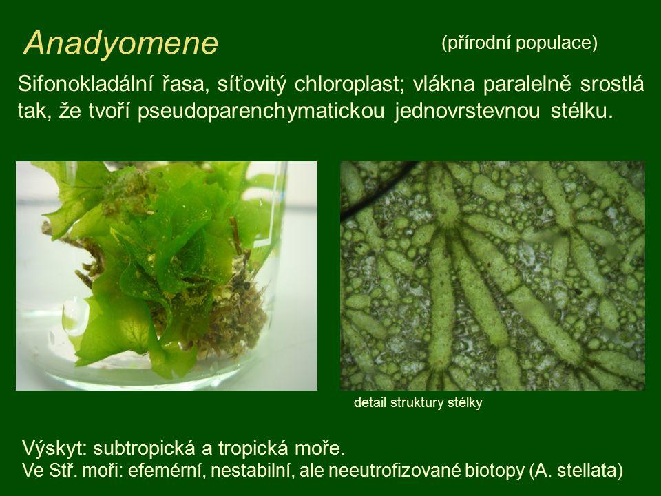 Anadyomene Sifonokladální řasa, síťovitý chloroplast; vlákna paralelně srostlá tak, že tvoří pseudoparenchymatickou jednovrstevnou stélku.