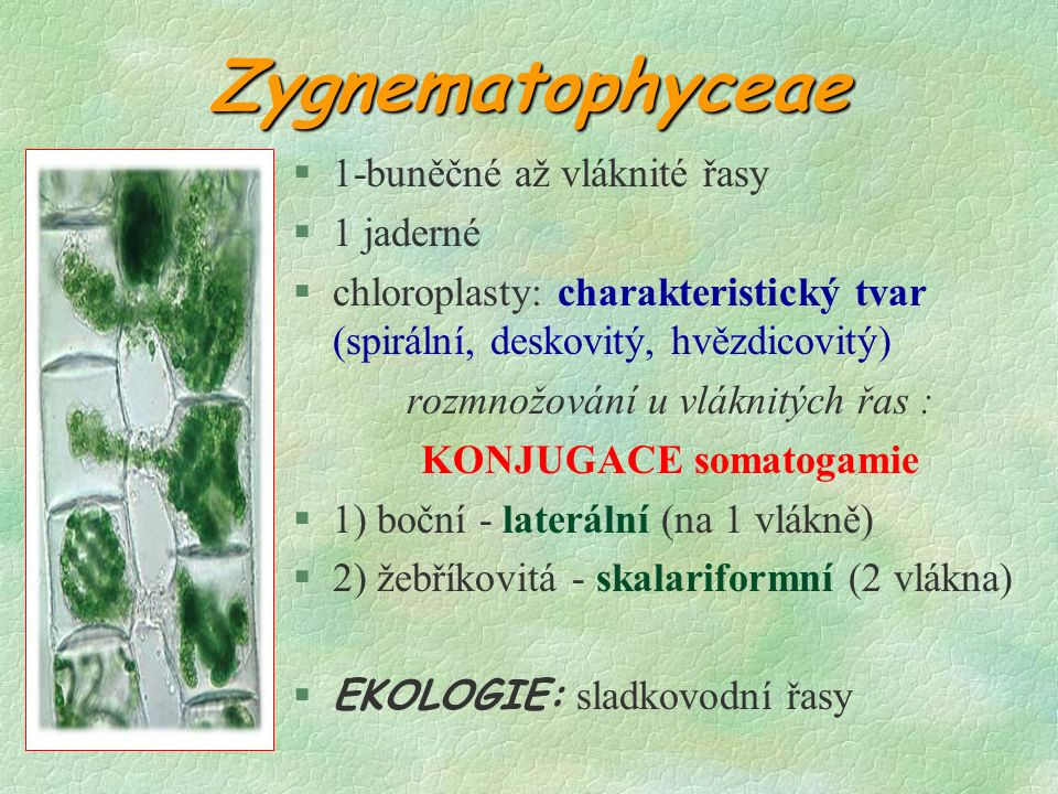 Zygnematophyceae §1-buněčné až vláknité řasy §1 jaderné §chloroplasty: charakteristický tvar (spirální, deskovitý, hvězdicovitý) rozmnožování u vláknitých řas : KONJUGACE somatogamie §1) boční - laterální (na 1 vlákně) §2) žebříkovitá - skalariformní (2 vlákna)  EKOLOGIE: sladkovodní řasy