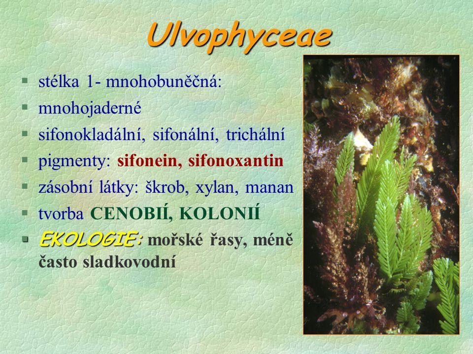 Ulvophyceae §stélka 1- mnohobuněčná: §mnohojaderné §sifonokladální, sifonální, trichální §pigmenty: sifonein, sifonoxantin §zásobní látky: škrob, xylan, manan §tvorba CENOBIÍ, KOLONIÍ  EKOLOGIE:  EKOLOGIE: mořské řasy, méně často sladkovodní