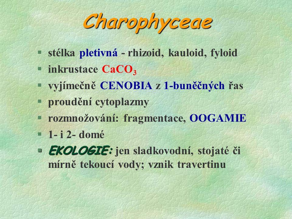 Charophyceae §stélka pletivná - rhizoid, kauloid, fyloid §inkrustace CaCO 3 §vyjímečně CENOBIA z 1-buněčných řas §proudění cytoplazmy §rozmnožování: fragmentace, OOGAMIE §1- i 2- domé  EKOLOGIE:  EKOLOGIE: jen sladkovodní, stojaté či mírně tekoucí vody; vznik travertinu