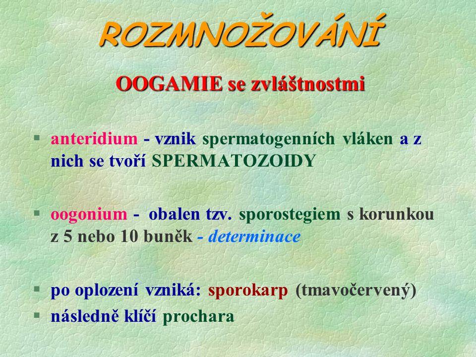 ROZMNOŽOVÁNÍ OOGAMIE se zvláštnostmi §anteridium - vznik spermatogenních vláken a z nich se tvoří SPERMATOZOIDY §oogonium - obalen tzv.
