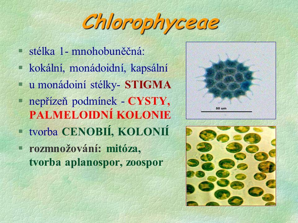 Chlorophyceae §stélka 1- mnohobuněčná: §kokální, monádoidní, kapsální §u monádoiní stélky- STIGMA §nepřízeň podmínek - CYSTY, PALMELOIDNÍ KOLONIE §tvorba CENOBIÍ, KOLONIÍ §rozmnožování: mitóza, tvorba aplanospor, zoospor