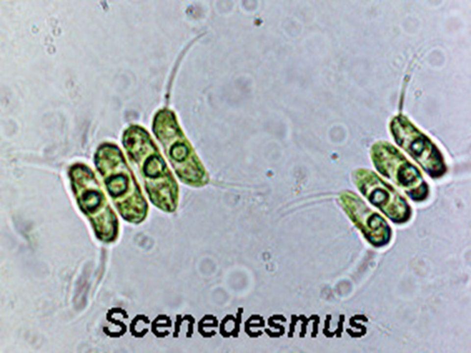 Chlorophyceae - systém Řád: Chlorellales - kokální řasy, tvorba cenobií i kolonií - 3-dílná povrchová vrstva - sporopolenin - přímé dělení, aplanospory, zoospory Chlorella - nejčastější zástupce řádu - využití v lékařství a potravinářství Pediastrum - cenobia, stojaté vody Scenedesmus - cenobia, stojaté vody Ch l o r e l l a Pediastrum
