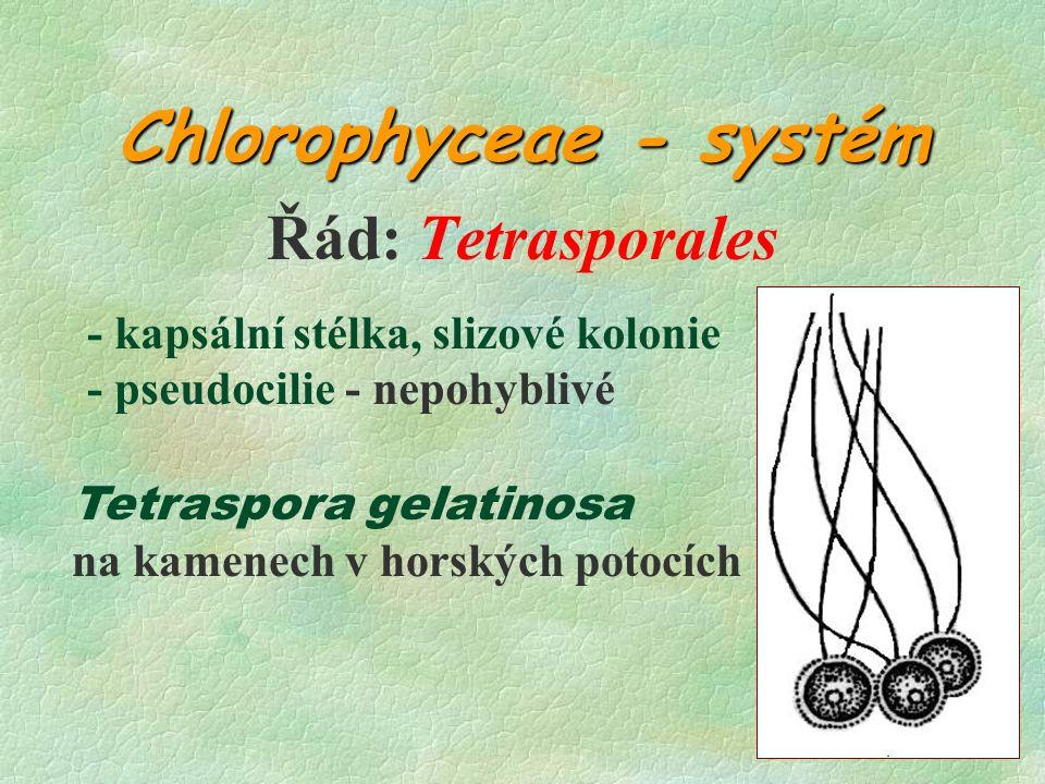 Chlorophyceae - systém Řád: Tetrasporales - kapsální stélka, slizové kolonie - pseudocilie - nepohyblivé Tetraspora gelatinosa na kamenech v horských potocích