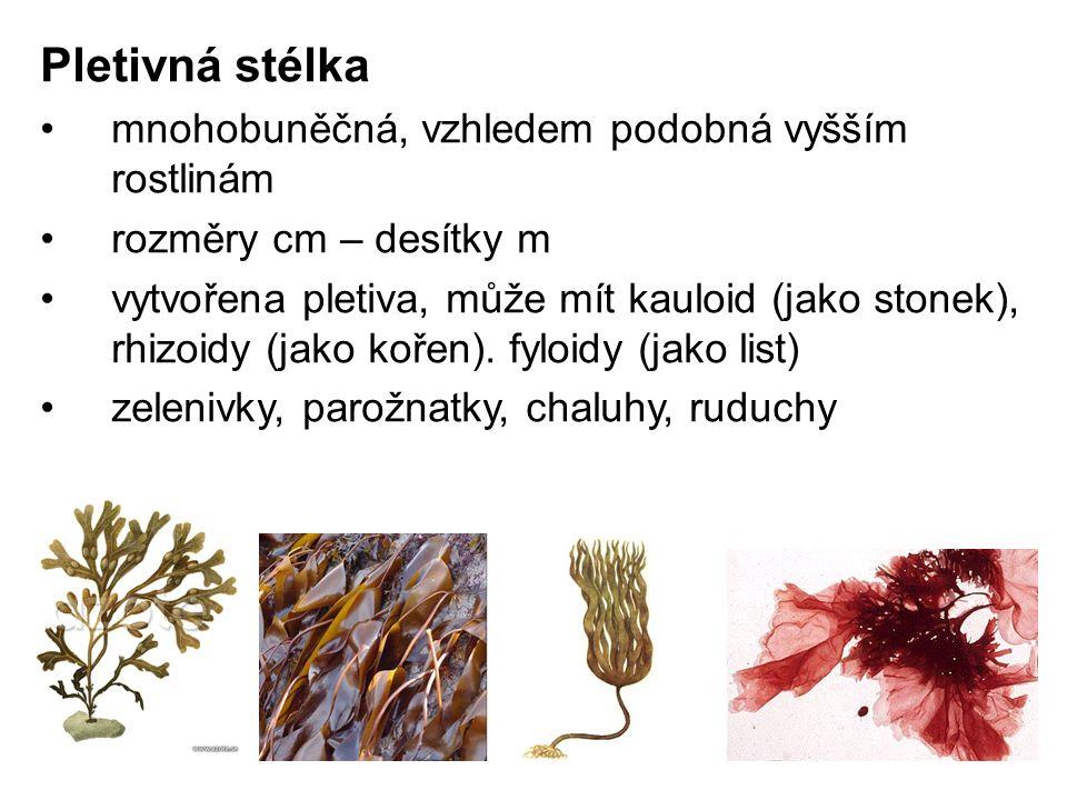 Pletivná stélka mnohobuněčná, vzhledem podobná vyšším rostlinám rozměry cm – desítky m vytvořena pletiva, může mít kauloid (jako stonek), rhizoidy (jako kořen).