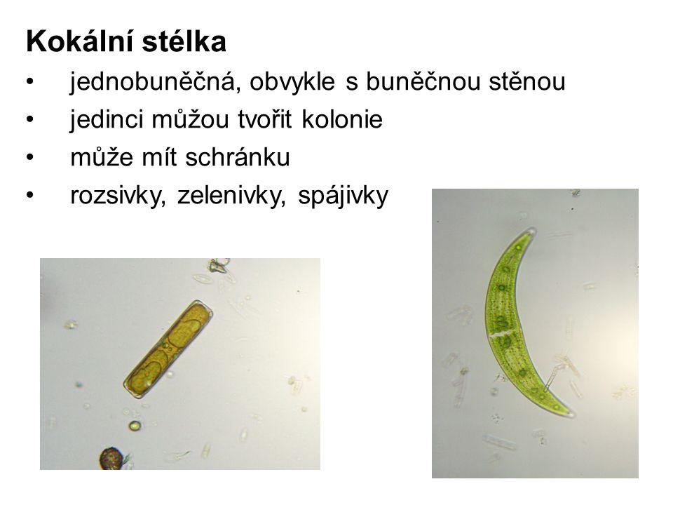 Kokální stélka jednobuněčná, obvykle s buněčnou stěnou jedinci můžou tvořit kolonie může mít schránku rozsivky, zelenivky, spájivky