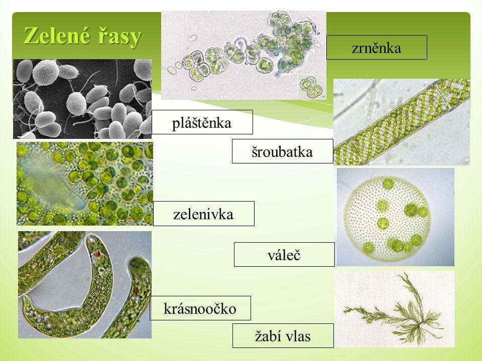 Zelené řasy pláštěnka zelenivka krásnoočko šroubatka váleč žabí vlas zrněnka
