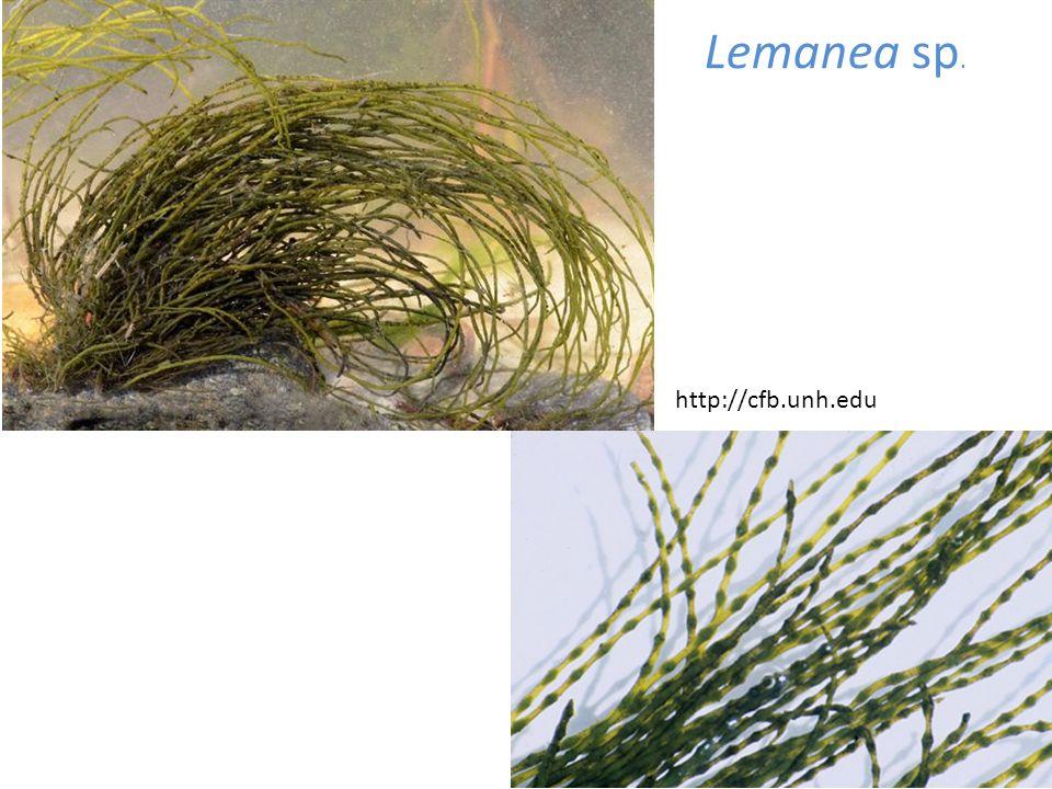Lemanea sp. http://cfb.unh.edu