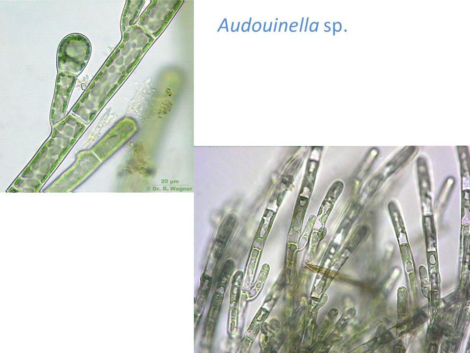 Audouinella sp.