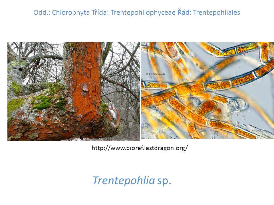 Odd.: Chlorophyta Třída: Trentepohliophyceae Řád: Trentepohliales Trentepohlia sp.