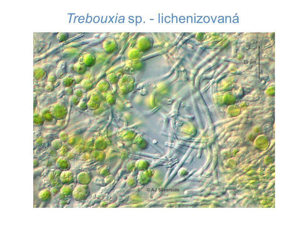 Trebouxia sp. - lichenizovaná