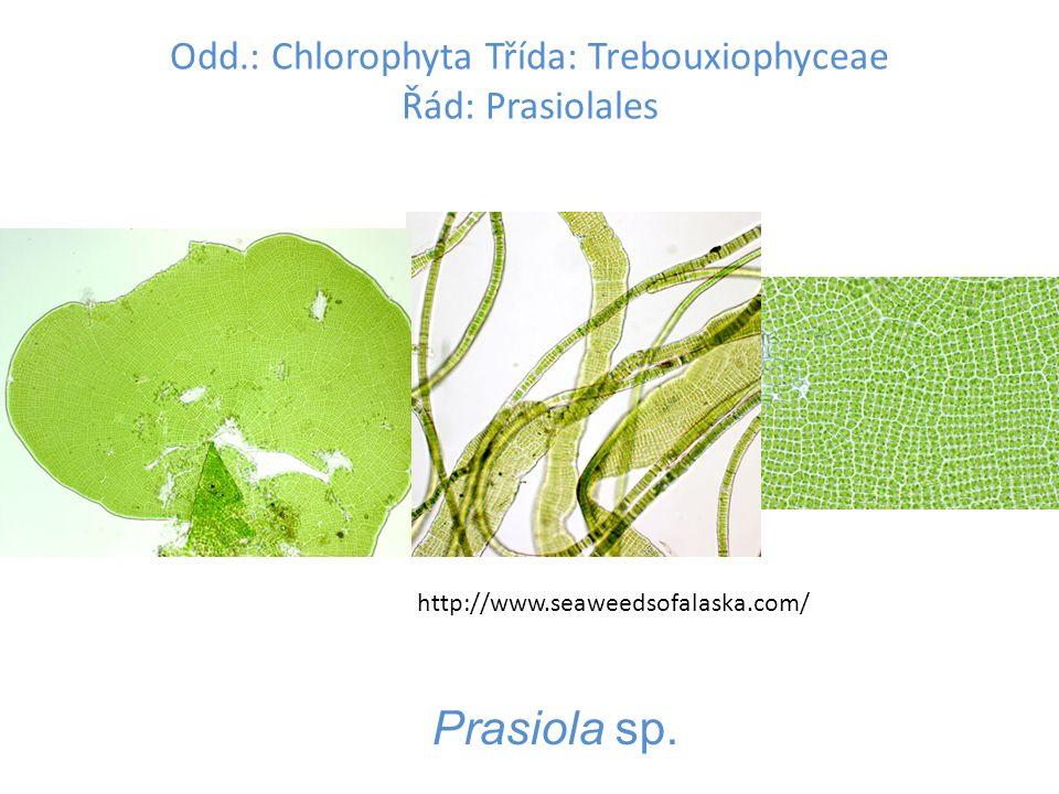Odd.: Chlorophyta Třída: Trebouxiophyceae Řád: Prasiolales Prasiola sp.