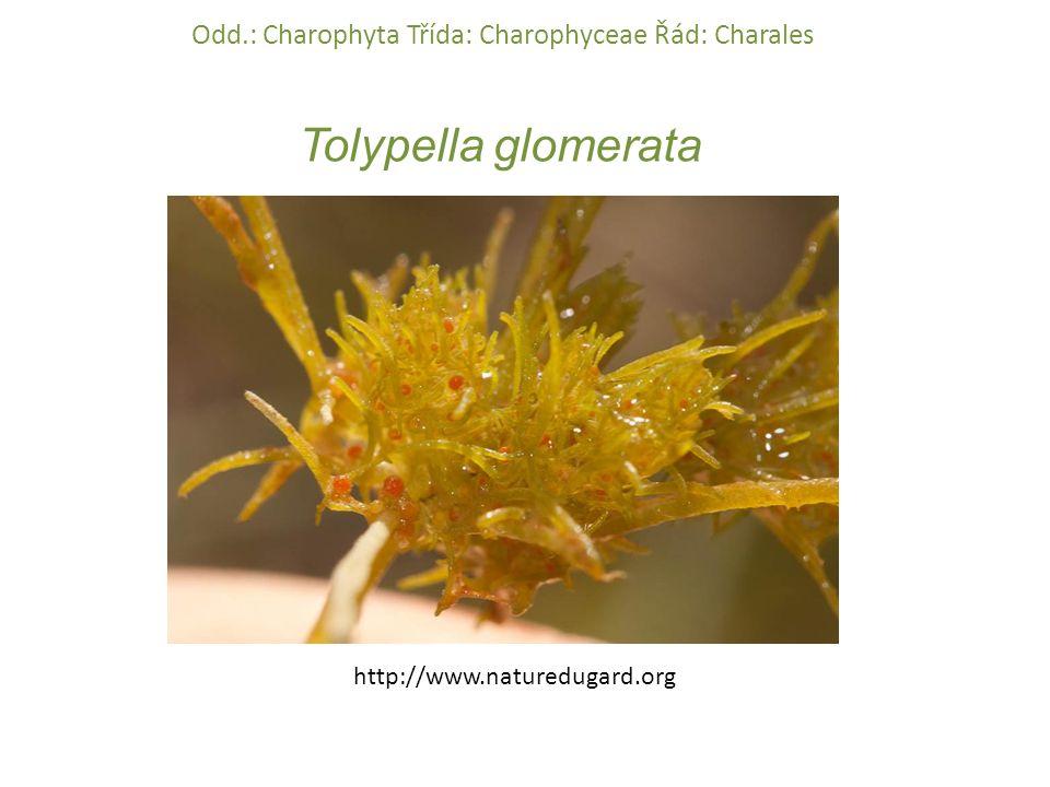 Tolypella glomerata Odd.: Charophyta Třída: Charophyceae Řád: Charales http://www.naturedugard.org