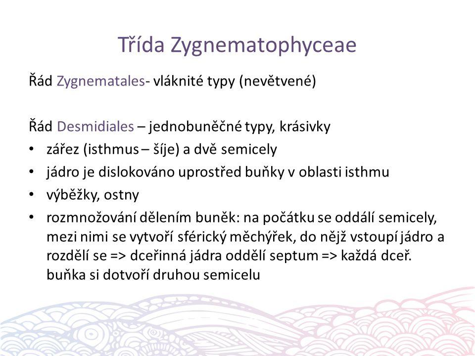 Třída Zygnematophyceae Řád Zygnematales- vláknité typy (nevětvené) Řád Desmidiales – jednobuněčné typy, krásivky zářez (isthmus – šíje) a dvě semicely