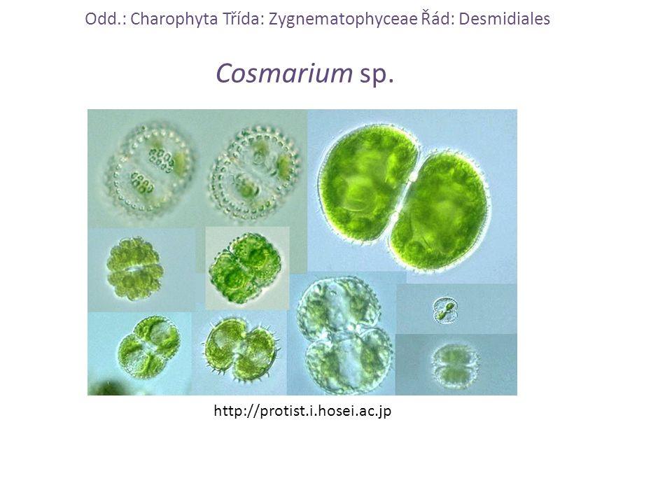 Odd.: Charophyta Třída: Zygnematophyceae Řád: Desmidiales Cosmarium sp. http://protist.i.hosei.ac.jp
