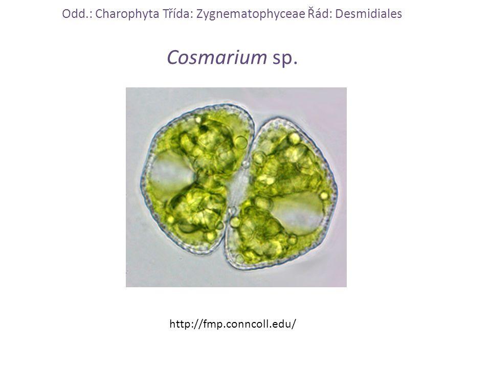 Odd.: Charophyta Třída: Zygnematophyceae Řád: Desmidiales Cosmarium sp. http://fmp.conncoll.edu/