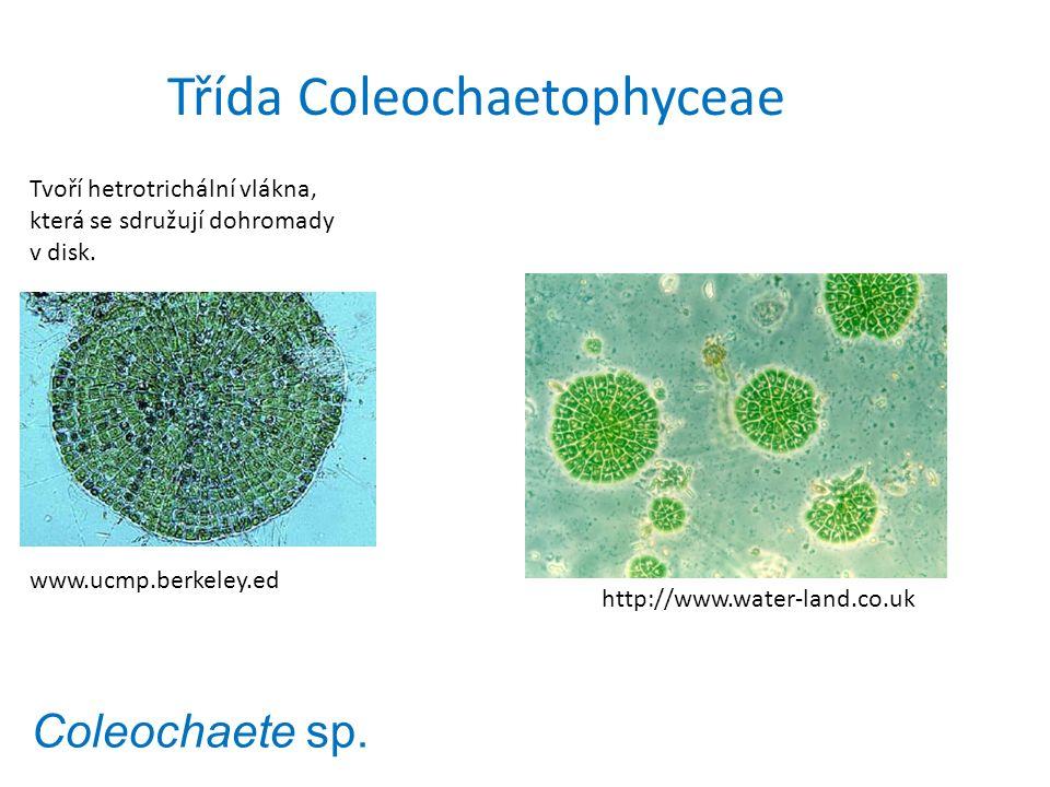 Coleochaete sp. Tvoří hetrotrichální vlákna, která se sdružují dohromady v disk. www.ucmp.berkeley.ed http://www.water-land.co.uk Třída Coleochaetophy