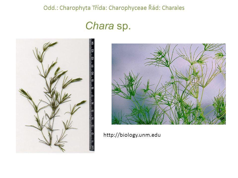 Chara sp. http://biology.unm.edu Odd.: Charophyta Třída: Charophyceae Řád: Charales