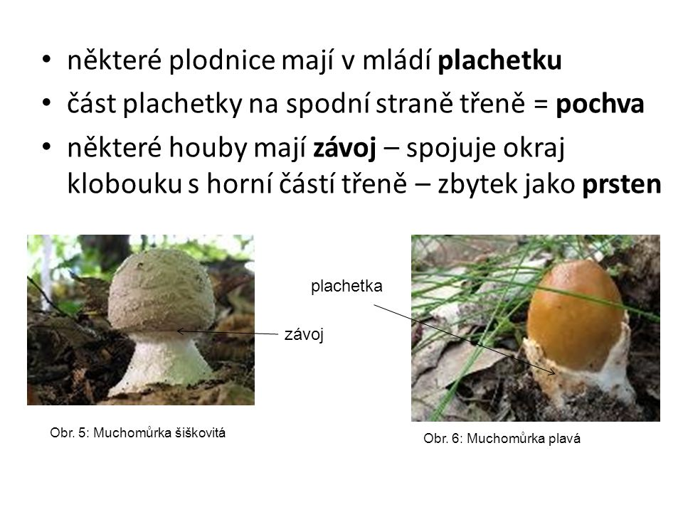 některé plodnice mají v mládí plachetku část plachetky na spodní straně třeně = pochva některé houby mají závoj – spojuje okraj klobouku s horní částí třeně – zbytek jako prsten Obr.